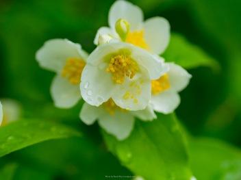 Droplets on jasmine