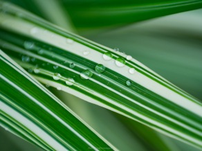 Droplets on maiden grass