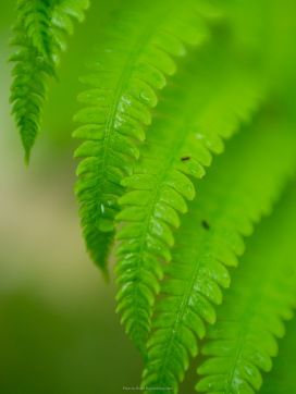 Droplets on fern pinna