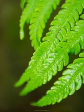 Pinna is the name for the little fern leaflets