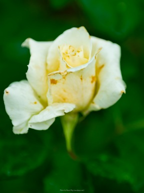 A cream white rosebud