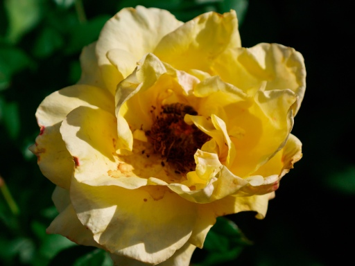 A Yellow Timeless rose