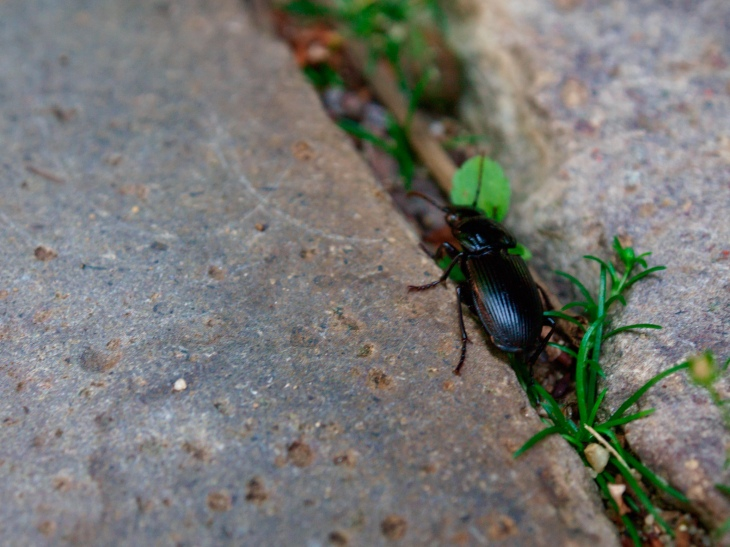 A Common Black Ground Beetle