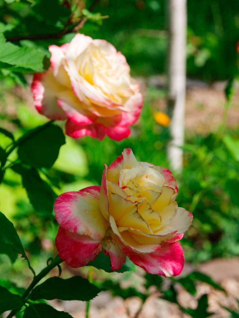 A pair of Florida roses
