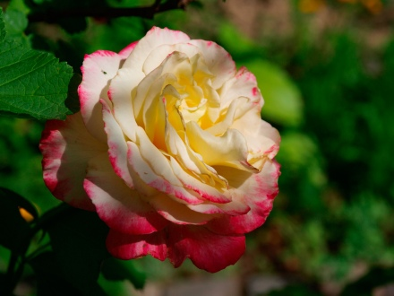 Florida rose
