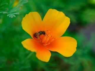 A bee pollinates a California poppy