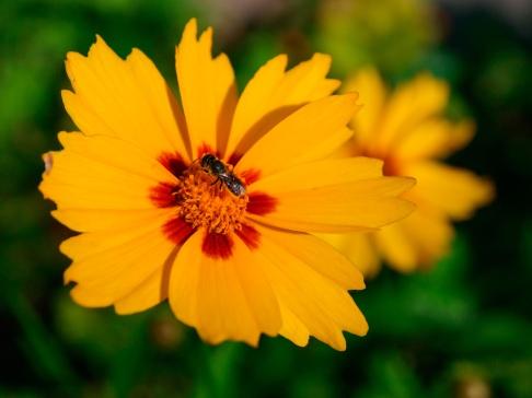 A yellow daisy