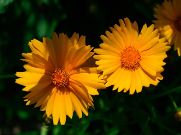 A pair of yellow daisies