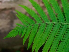 The tip of a fern leaf