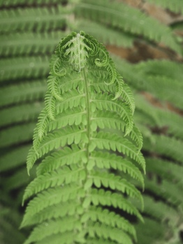 A fern leaf unfurling
