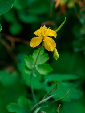 Celandine flower