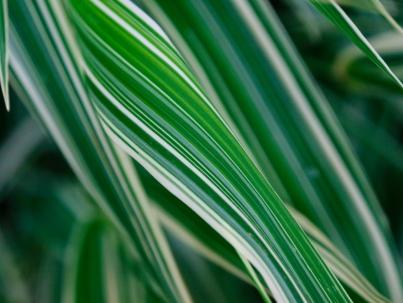 Variegated maiden grass