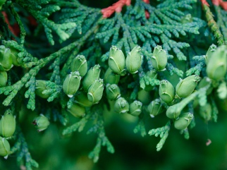 Cypress fruits
