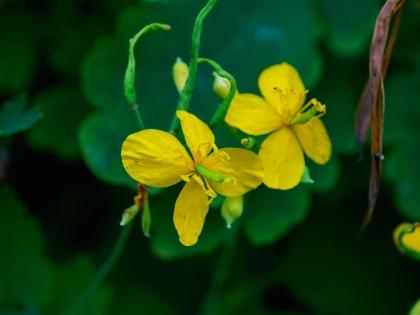 Celandine flowers