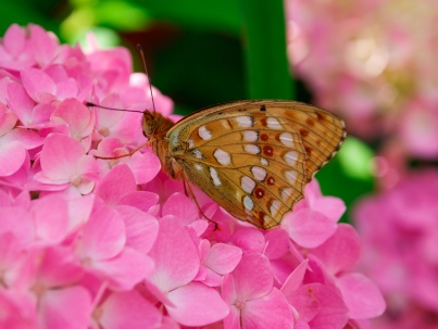 A Brown Fritillary butterfly