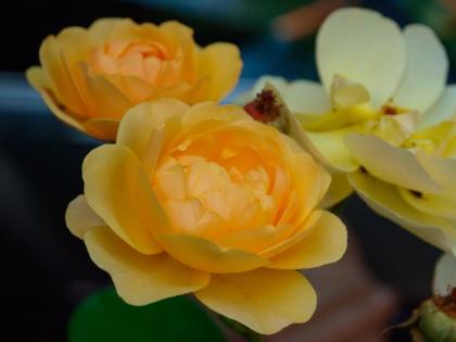 Rose blossoms