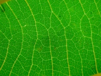 Veins on a paulownia leaf