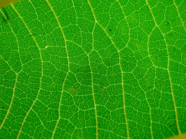 Veins on a paulownia leaf